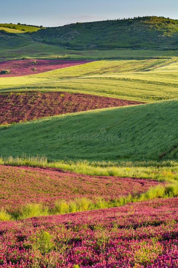 与蜂蜜在牧场地和绿色麦田在西西里岛海岛小山,农业的花苏拉红色开花的风景  免版税库存照片