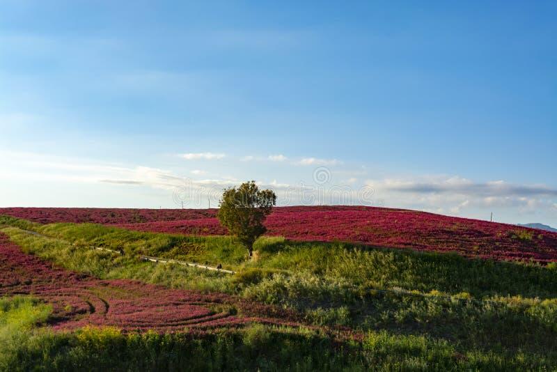 与蜂蜜在牧场地和绿色麦田在西西里岛海岛小山,农业的花苏拉红色开花的风景  免版税库存图片