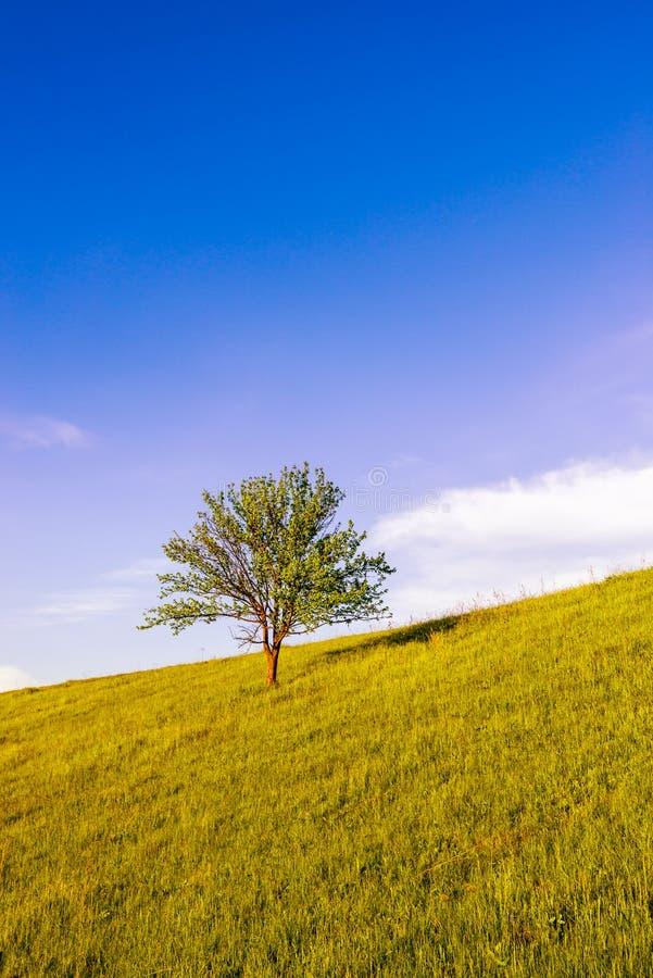 与蜂蜜草的偏僻的树 免版税库存照片