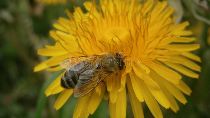 与蜂蜜蜂的蒲公英 免版税库存图片