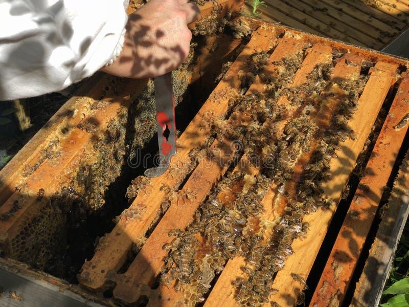与蜂蜜蜂的蜂框架 图库摄影