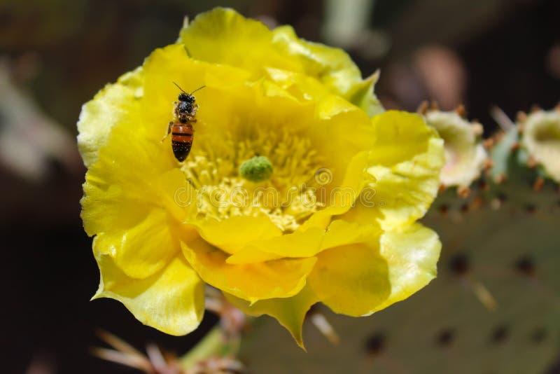 与蜂蜜蜂的仙人球绽放 库存照片