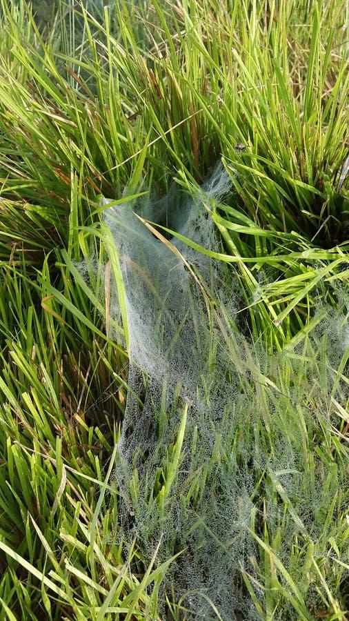 与蜘蛛网的绿草 免版税库存照片