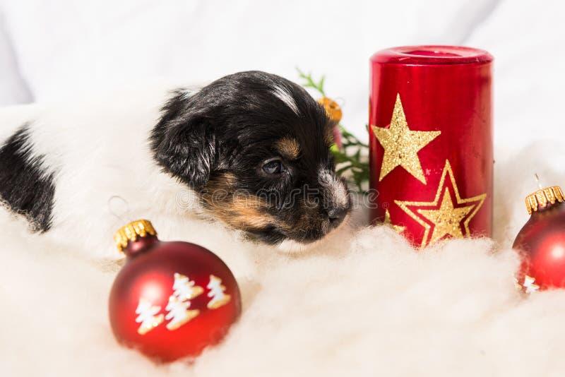 与蜡烛的新出生的杰克罗素狗小狗在圣诞节 免版税库存照片