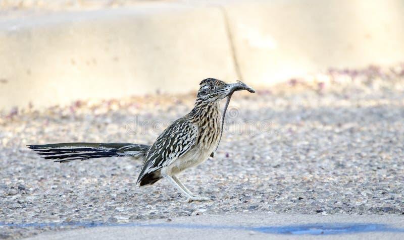 与蜥蜴的更加伟大的走鹃鸟在额嘴,图森亚利桑那,美国 库存照片