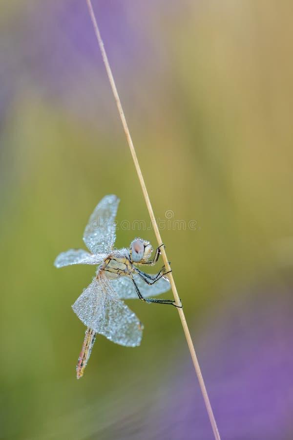 与蜻蜓的美好的自然场面红成脉络了突进者Sympetrum fonscolombii 免版税库存图片
