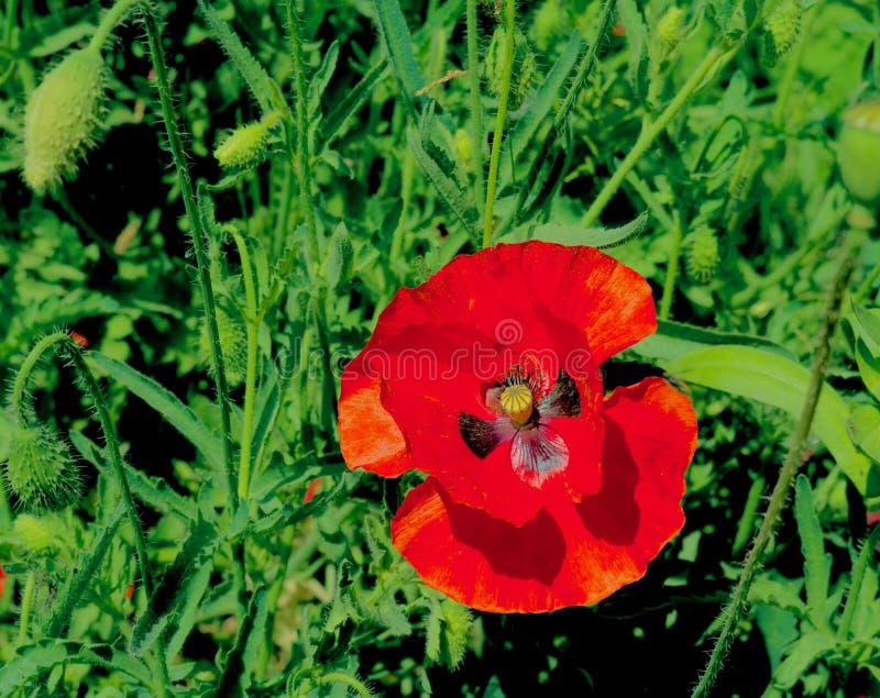 与蝴蝶标记的美丽的红色花在克什米尔谷印度 库存图片
