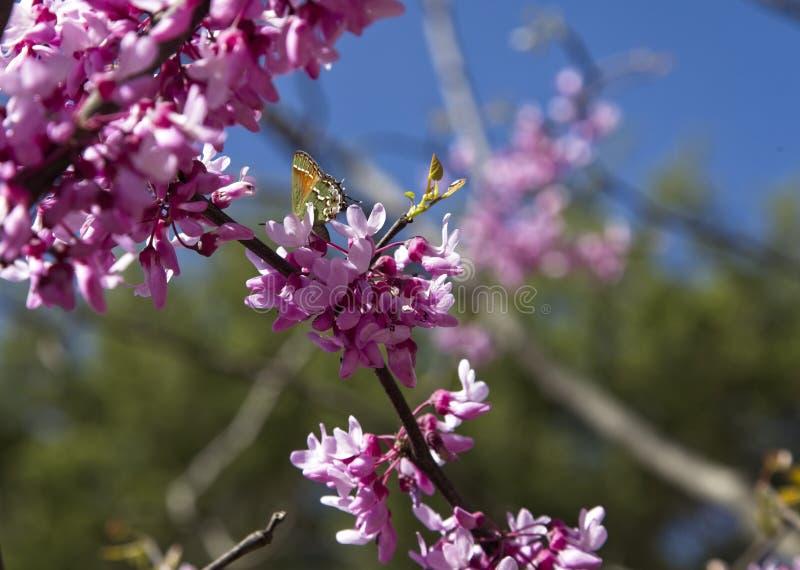 与蝴蝶的桃红色开花的树 库存图片