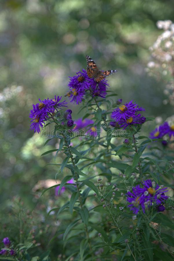 与蝴蝶的紫色和黄色花 库存图片