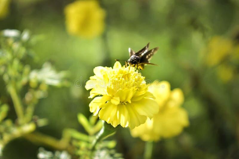 与蝴蝶的黄色花 库存图片