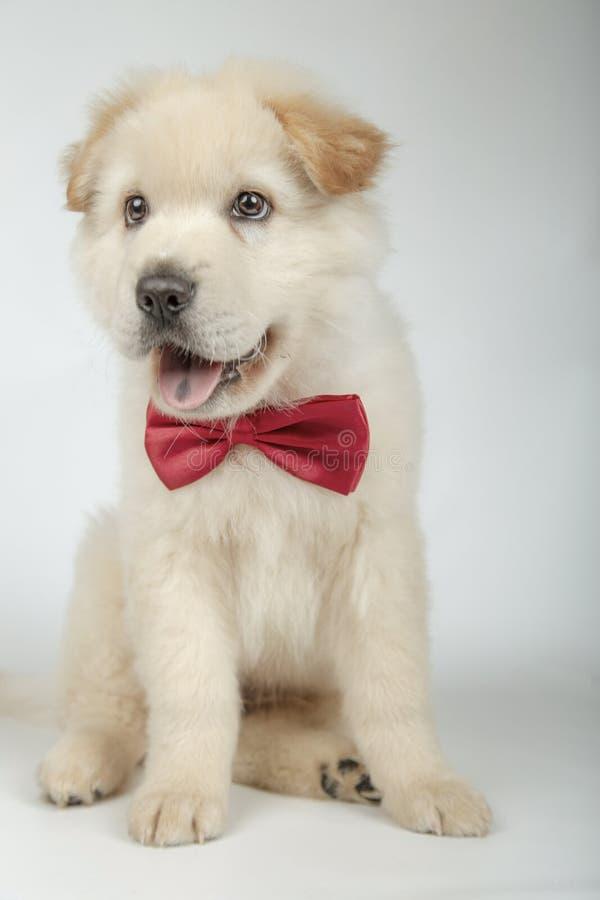 与蝶形领结的可爱的小狗 图库摄影