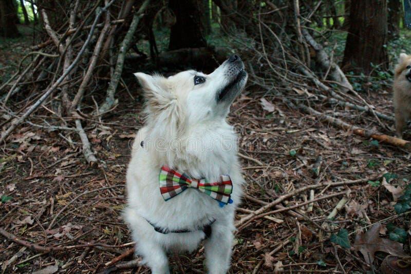 与蝶形领结的Pomeranian在森林 免版税库存图片