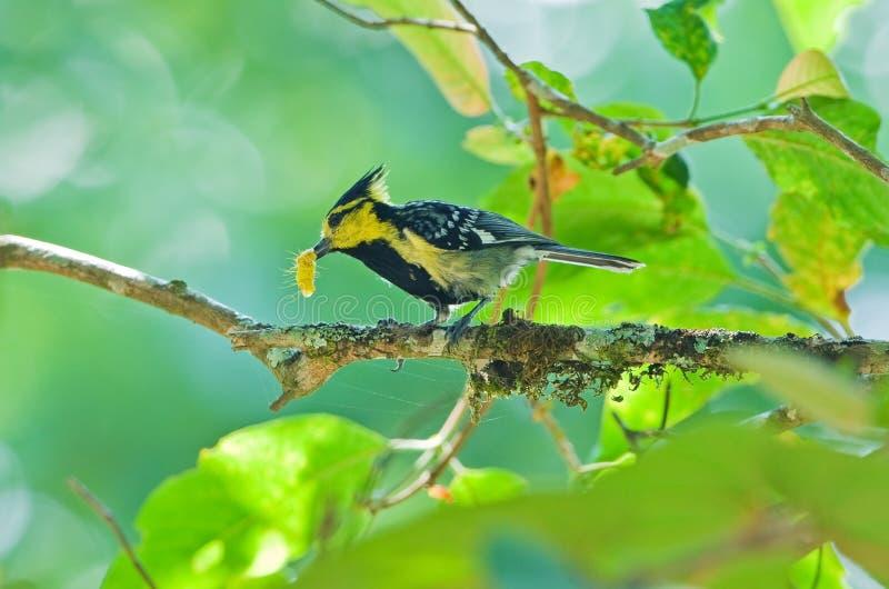 与蠕虫的黄色cheeked山雀 图库摄影