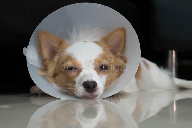 与衣领的病的狗 免版税库存照片