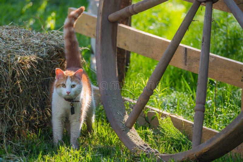 与衣领的逗人喜爱的宠物在明亮的早晨太阳的猫和响铃在干草捆旁边 库存照片