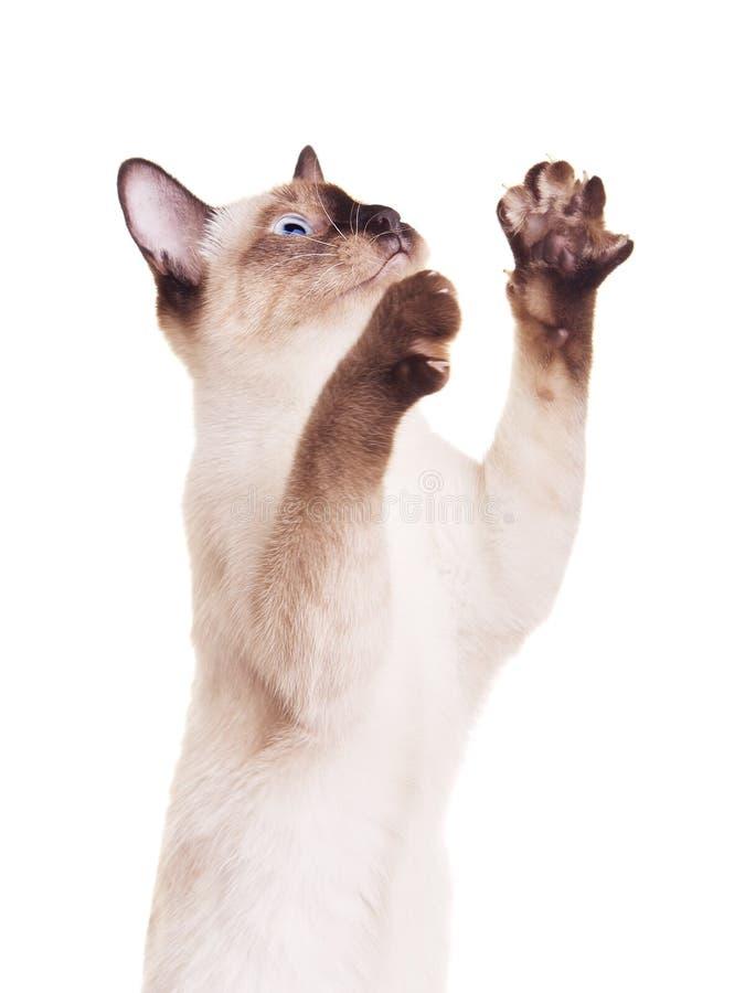与被举的爪子的泰国猫 免版税库存照片