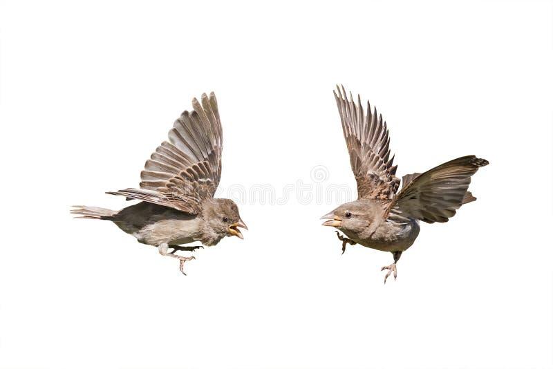 与被伸出的翼的两只鸟麻雀 免版税库存照片