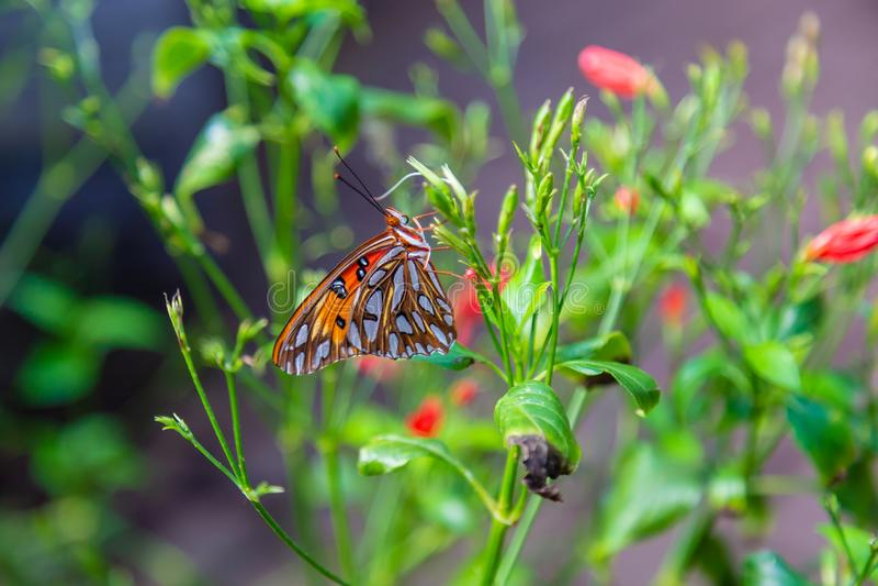 与被关闭的翼的激情蝴蝶 图库摄影