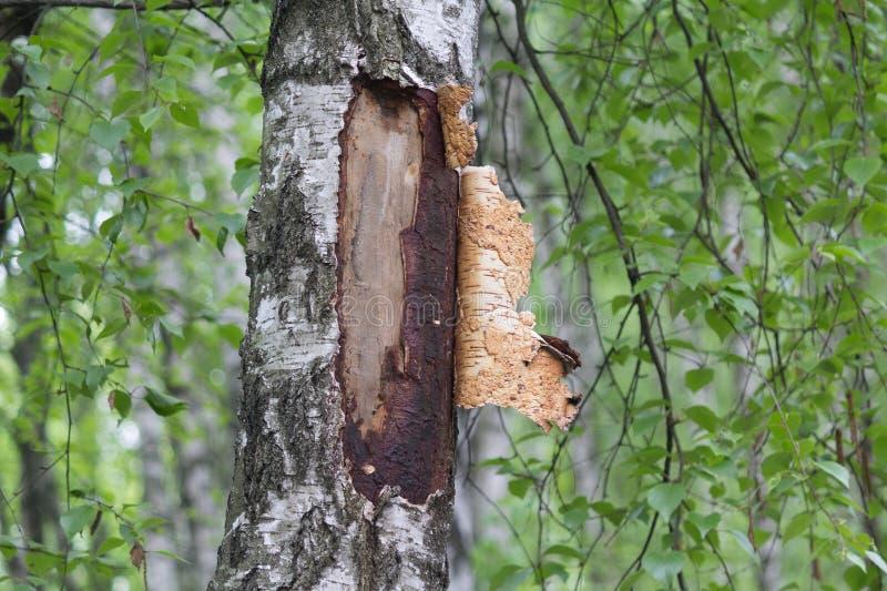 与被净化的吠声的桦树在白桦在公园 免版税库存图片