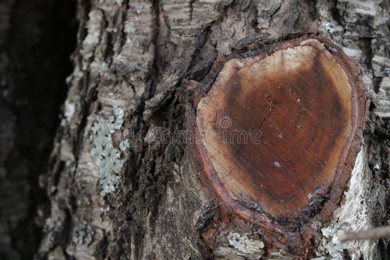 与被切开的肢体的橡树粗砺的吠声 免版税库存照片
