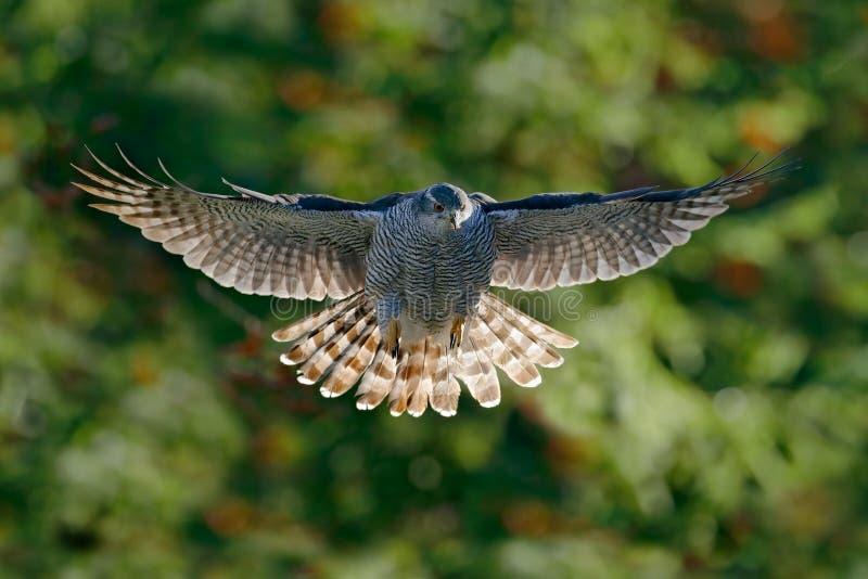 与被弄脏的橙色和绿色秋天树森林的飞鸟苍鹰在背景中 行动从森林苍鹰的野生生物场面 库存照片