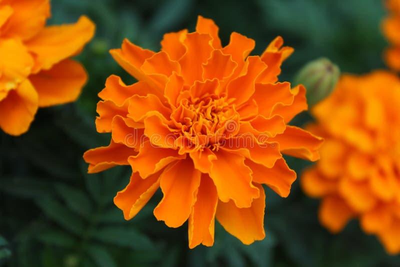 与被折叠的瓣的万寿菊花 库存图片
