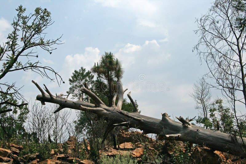 与被整理的分支的下落的树干 免版税库存图片