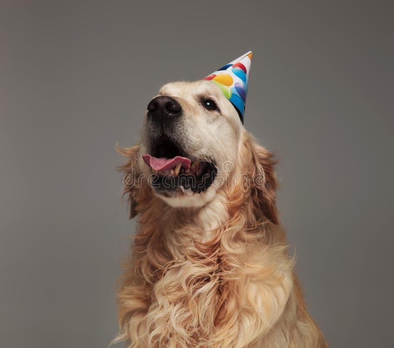 与被暴露的舌头的生日快乐金黄retriver头  图库摄影