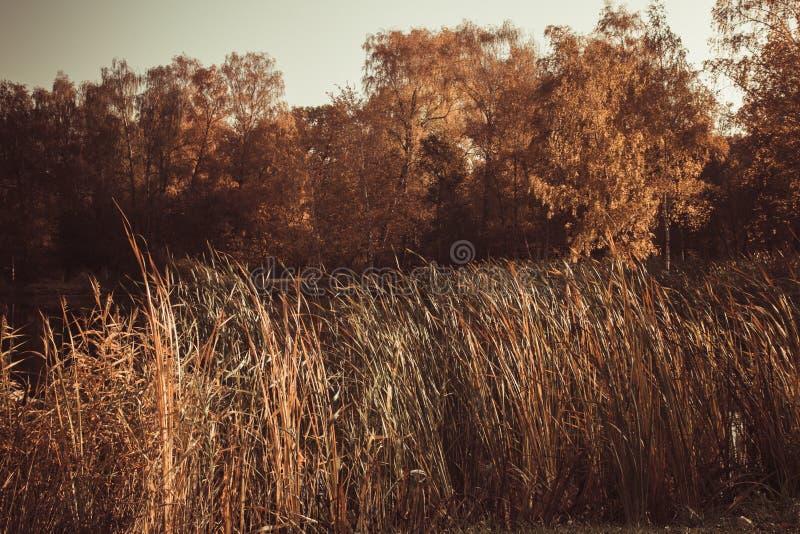与被染黄的叶子和干燥丛林秋天温暖的晴朗的天气的树包围的池塘 免版税库存图片