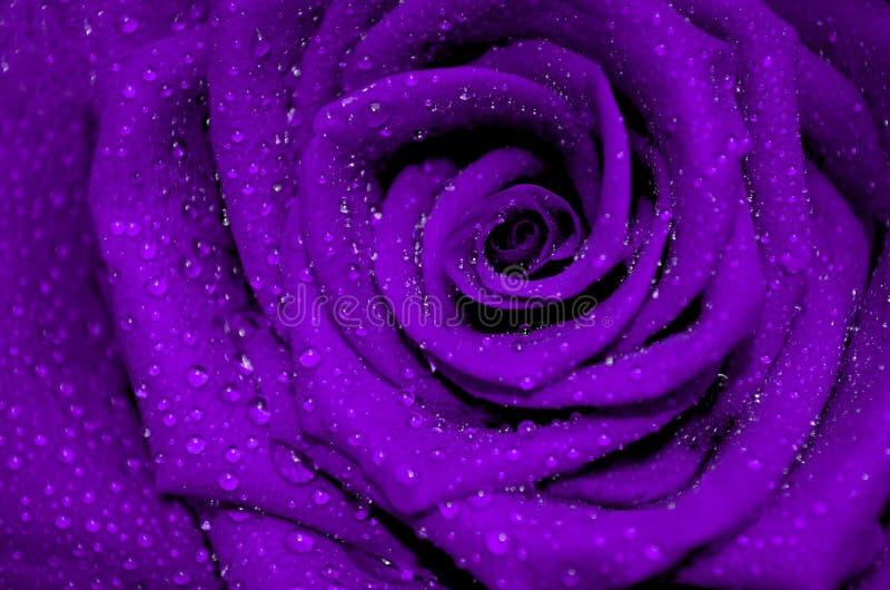 与被盖的开放瓣的新鲜的紫色玫瑰 免版税库存照片