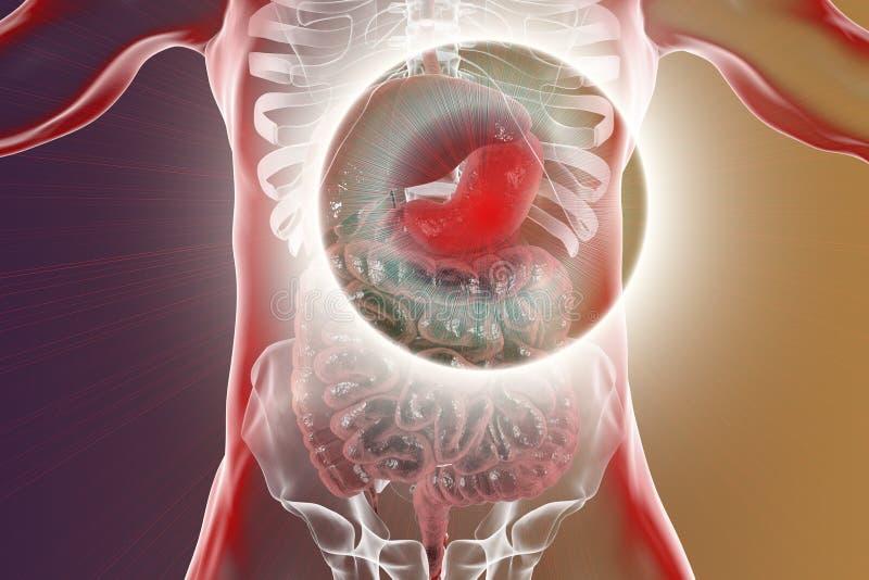 与被突出的胃的人的消化系统 皇族释放例证