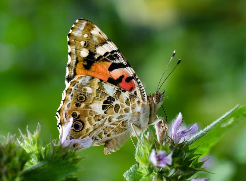 与被绘的夫人蝴蝶的不可思议的背景 蝴蝶接近的照片在庭院花的 图库摄影