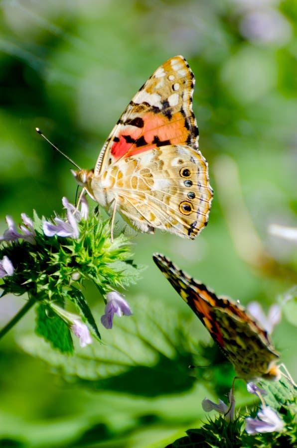 与被绘的夫人蝴蝶的不可思议的背景 蝴蝶接近的照片在庭院花的 库存照片