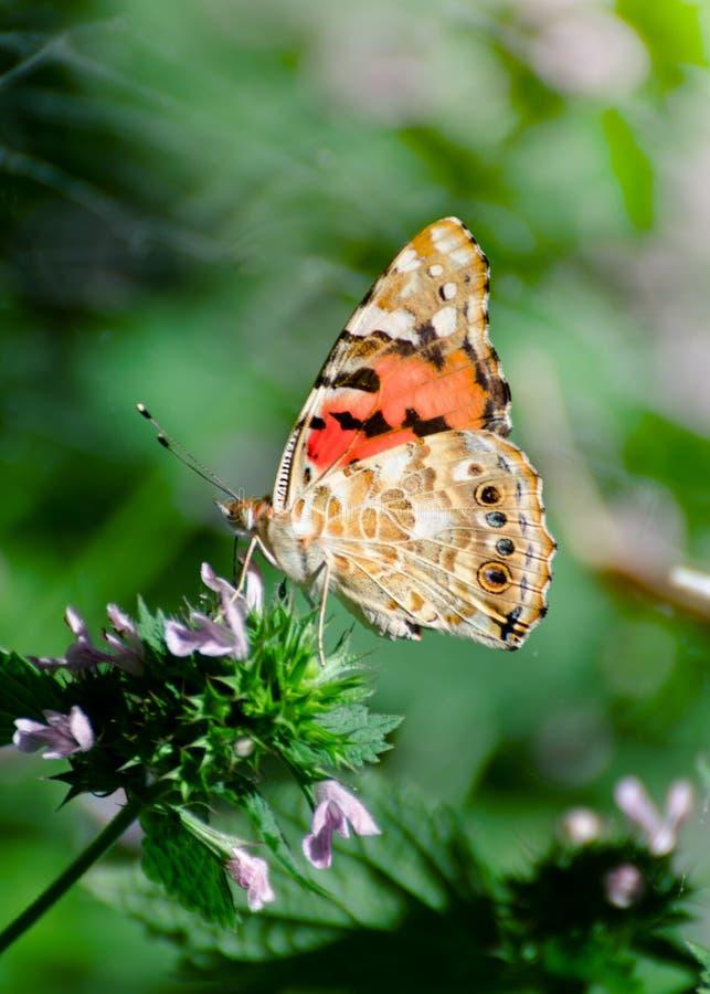 与被绘的夫人蝴蝶的不可思议的背景 蝴蝶接近的照片在庭院花的 免版税库存照片