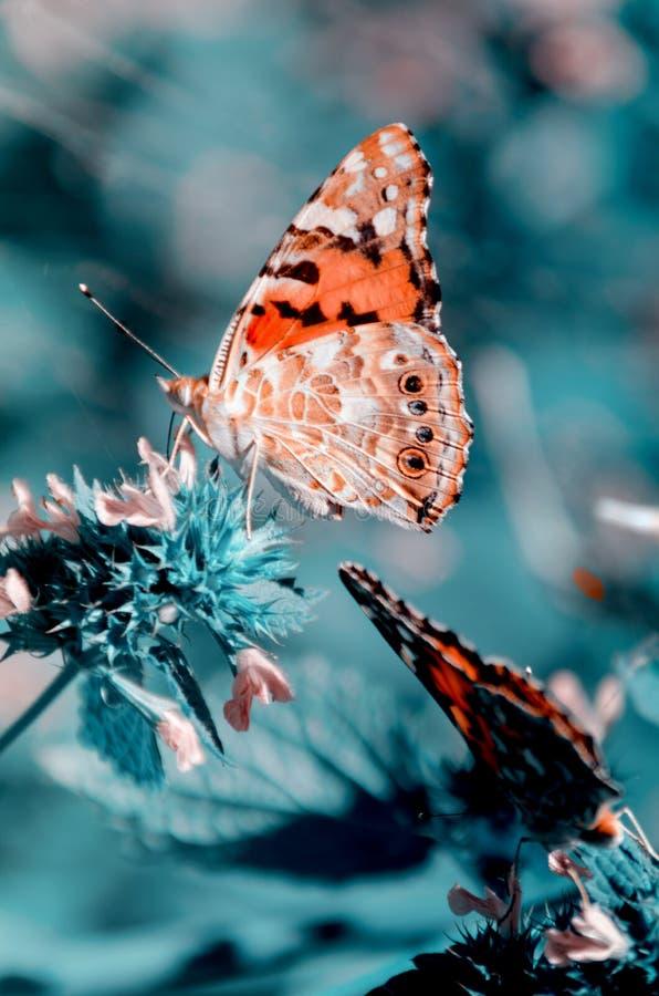 与被绘的夫人蝴蝶的不可思议的背景 蝴蝶接近的照片在庭院花的 免版税库存图片