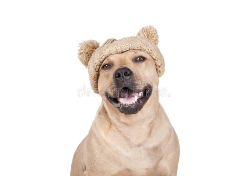 与被编织的帽子的笑的愉快的美国斯塔福德郡狗狗对照相机微笑 免版税库存图片