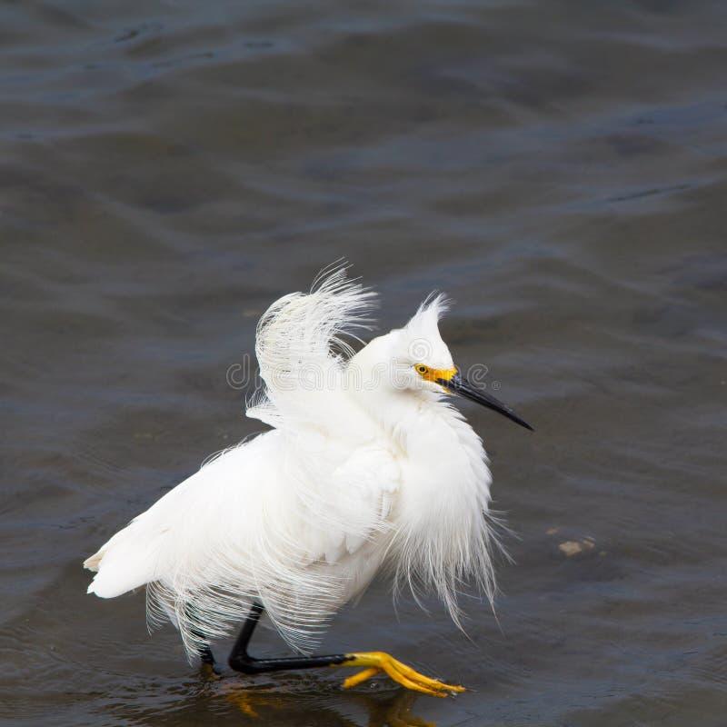 与被翻动的羽毛的白鹭趟过在水中的 免版税库存图片