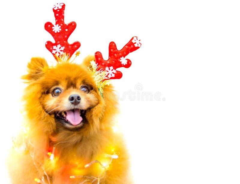 与被隔绝的圣诞装饰的滑稽的狗 免版税图库摄影
