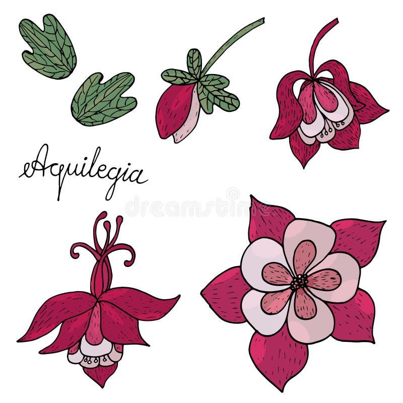 与被隔绝的芽和叶子的Aquilegia花 向量例证
