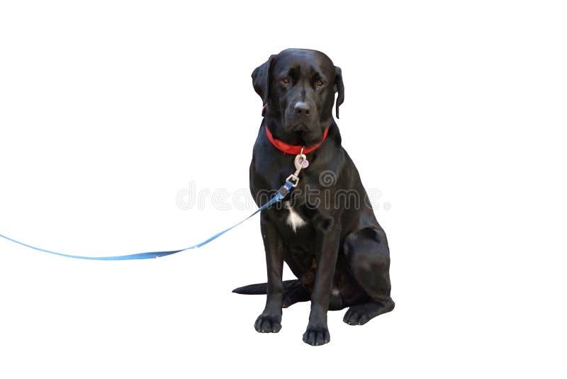 与被隔绝的哀伤的面孔的黑颜色拉布拉多猎犬 库存图片