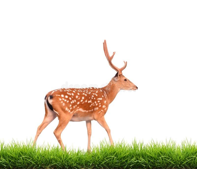 与被隔绝的绿草的Sika鹿 库存照片