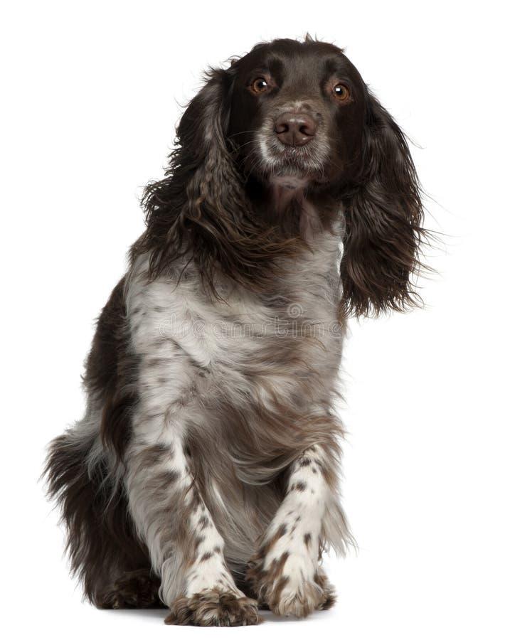 与被风吹头发的美国猎犬 免版税图库摄影