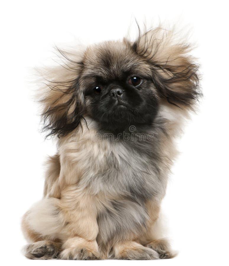 与被风吹头发,6个月的Pekingese小狗 库存照片