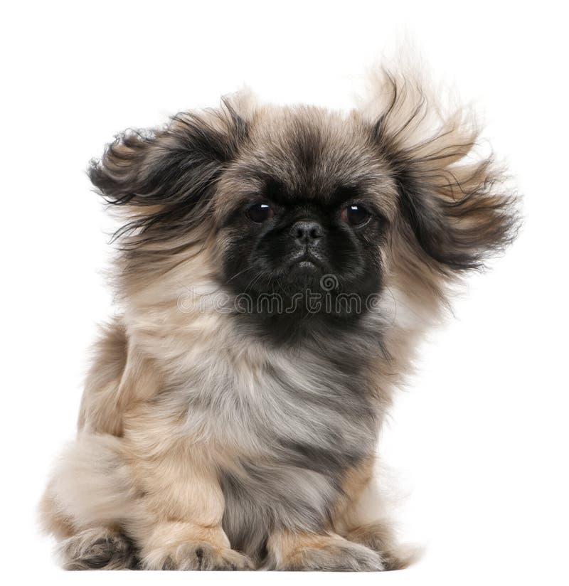 与被风吹头发,6个月的Pekingese小狗 免版税库存照片