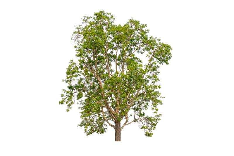 与裁减路线的唯一绿色树在白色背景 库存照片