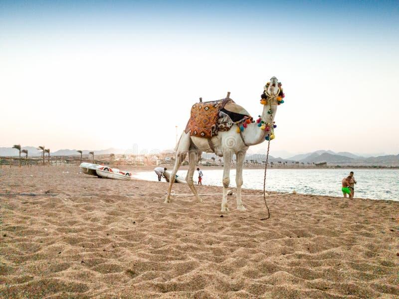 与装饰的马鞍的美丽的白色骆驼在埃及的海海滩 免版税库存图片