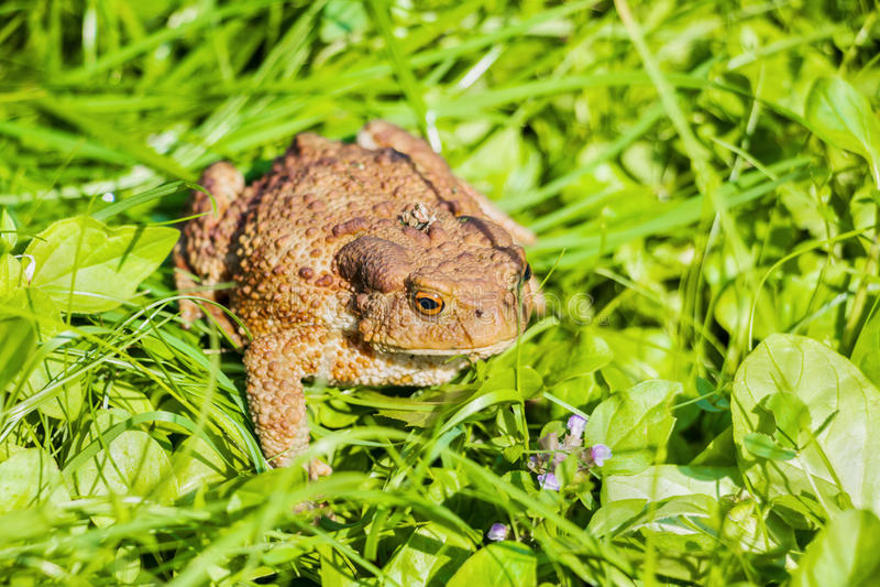 与褐色的大蟾蜍察觉了看的皮肤坐在绿草和  图库摄影