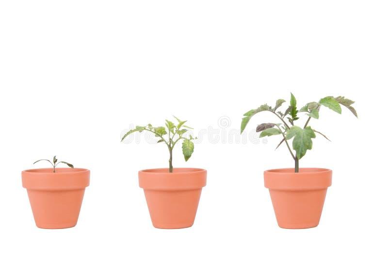 与西红柿的赤土陶器大农场主 免版税库存照片