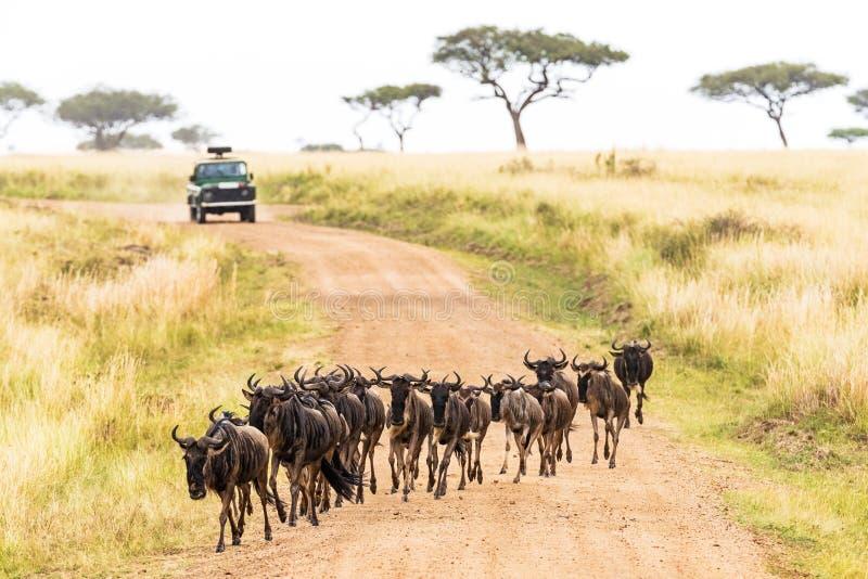 与角马横穿路的非洲徒步旅行队 库存照片