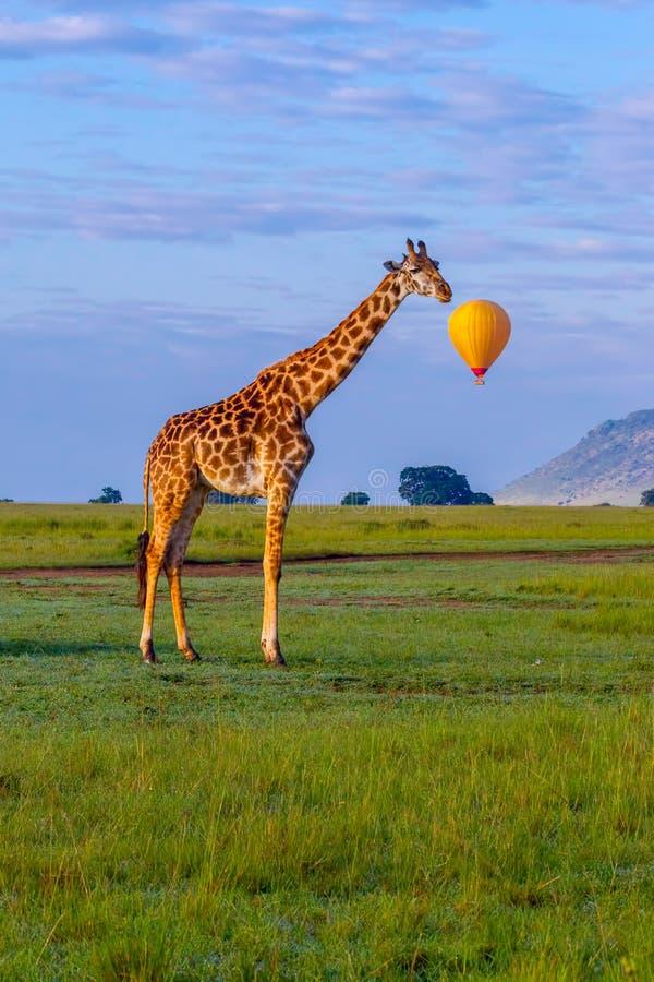 与讲话泡影的马塞人长颈鹿 图库摄影